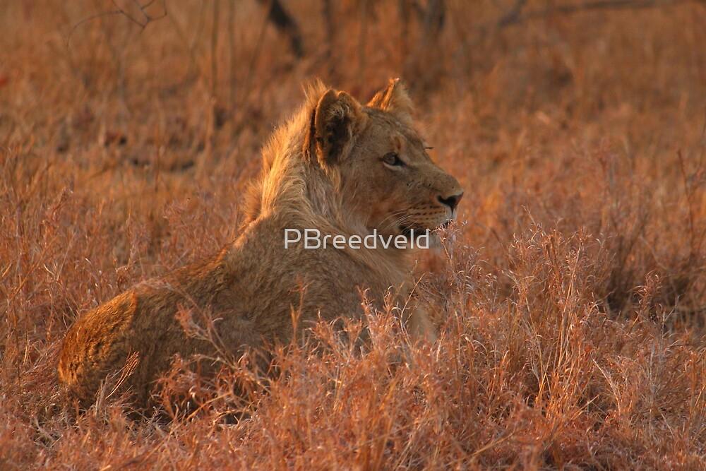 Lion cub by PBreedveld