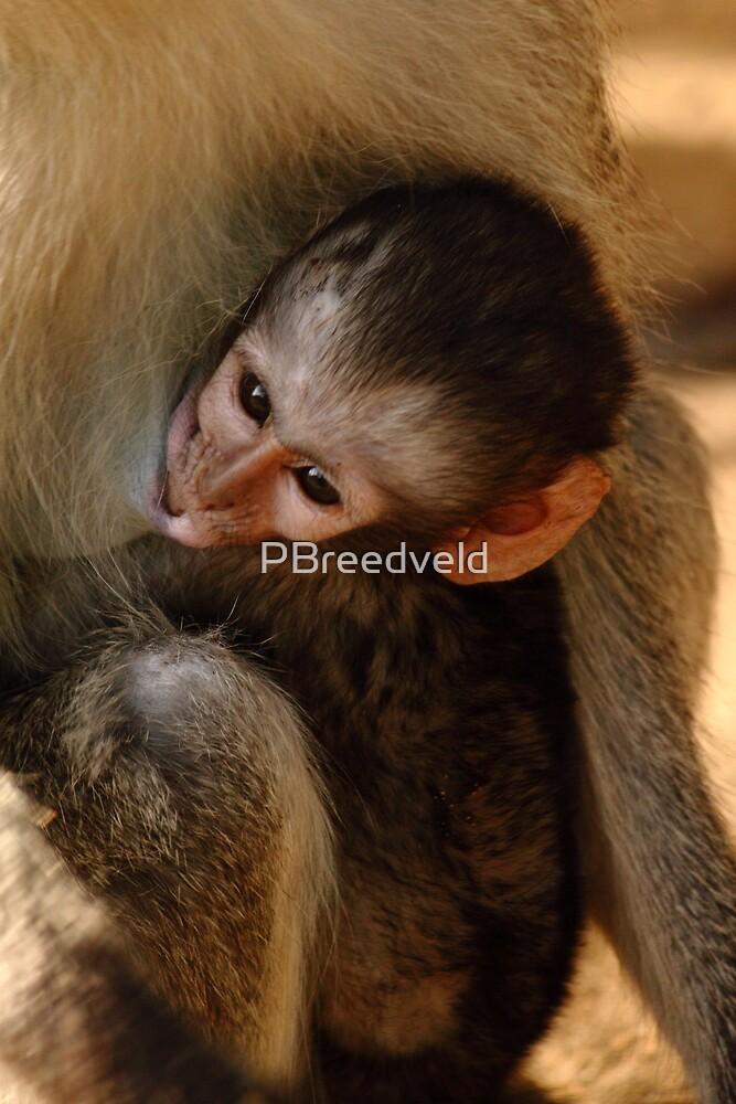 Baby Vervet Monkey drinking by PBreedveld