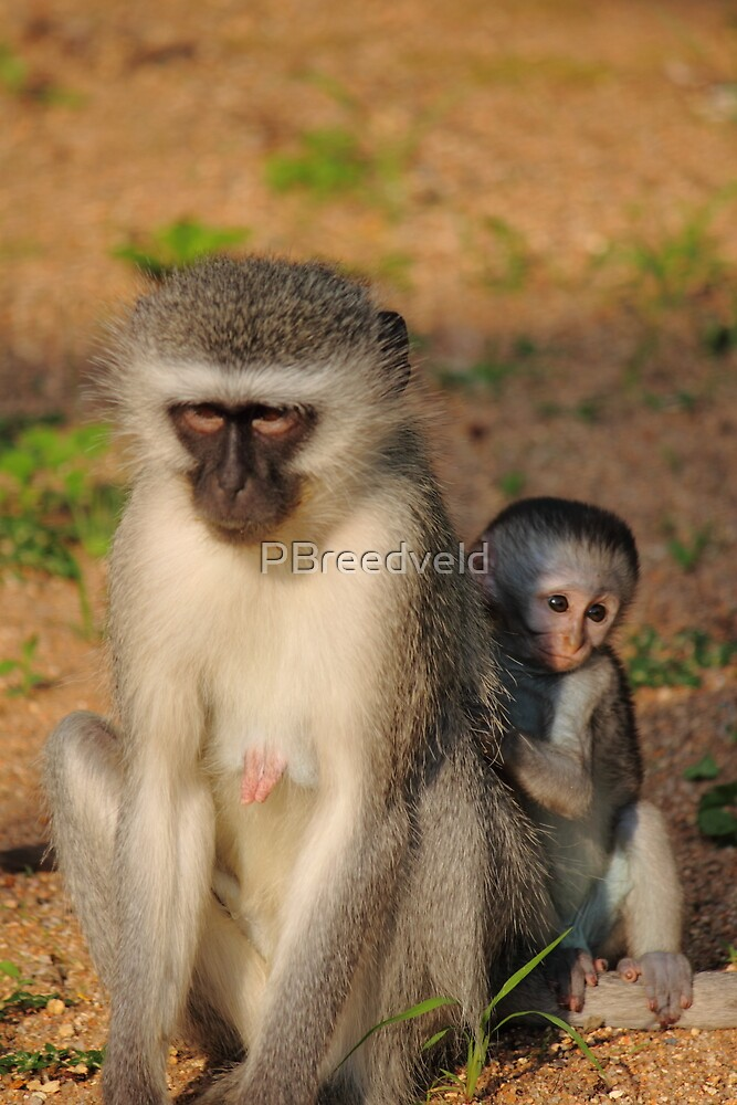 Vervet Monkey and baby by PBreedveld