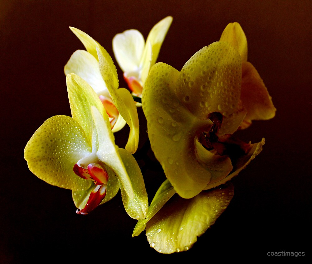 Orchid on Black by coastimages