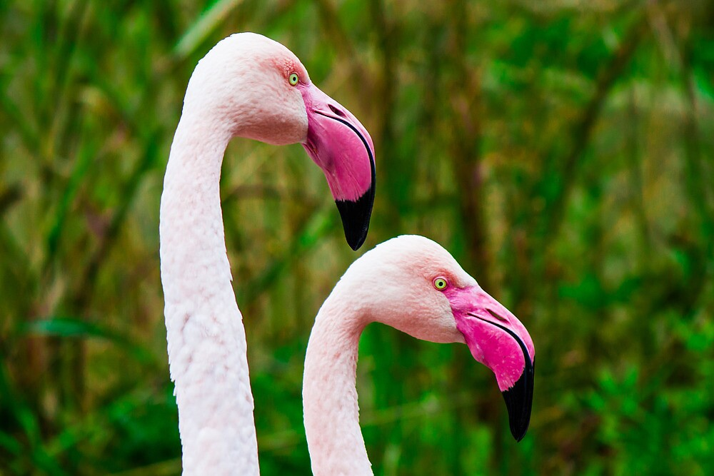 Pink Flamingos by Sean Balanger