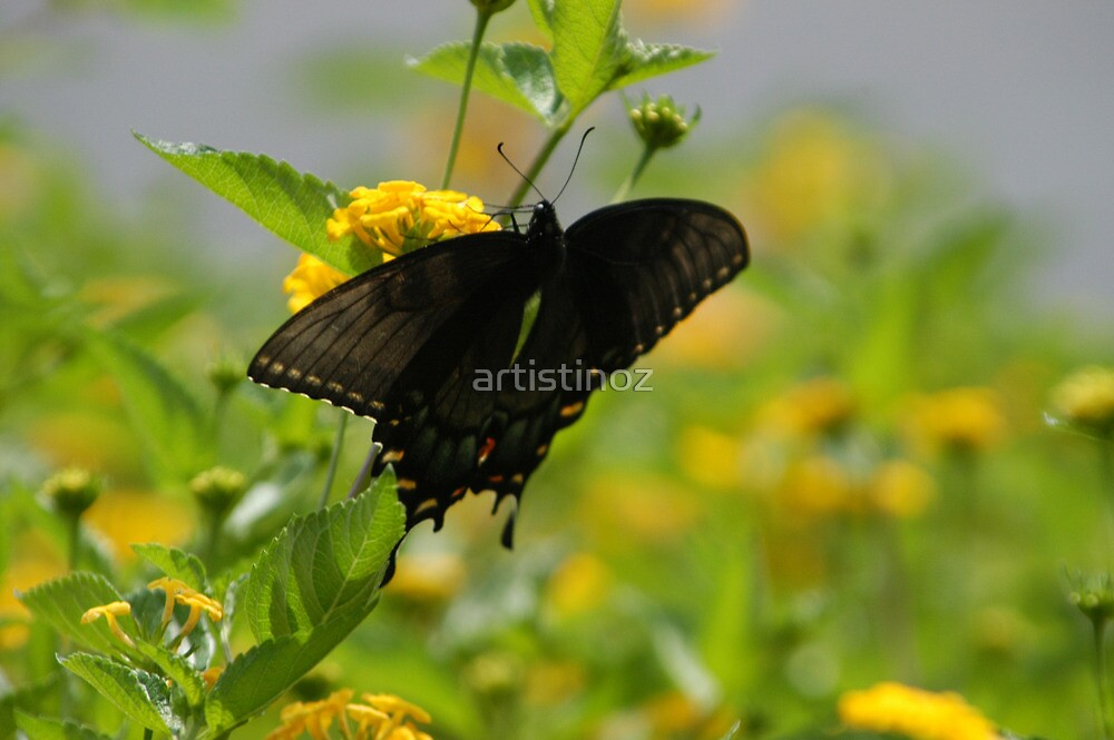 Black Butterfly  by artistinoz