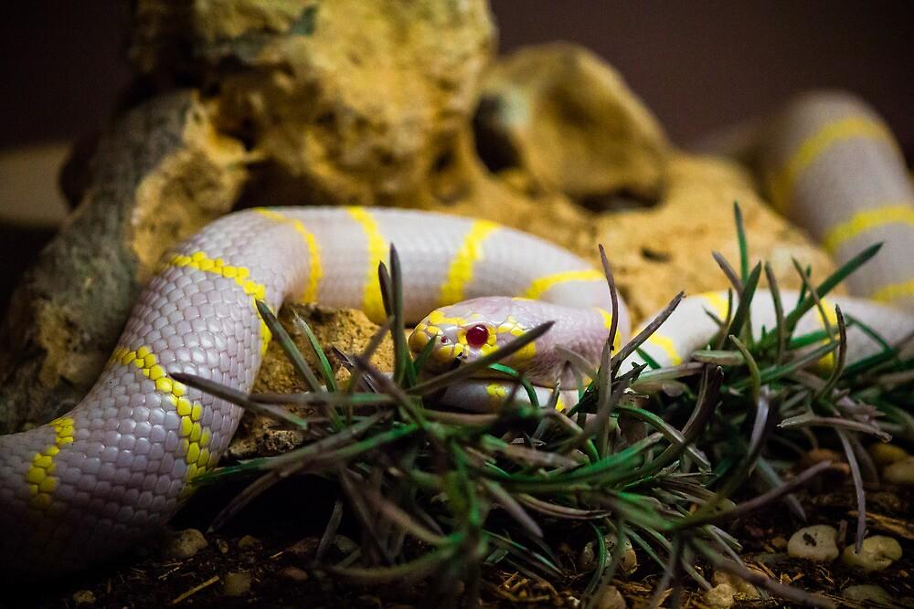 Albino King Snake by Sean Balanger