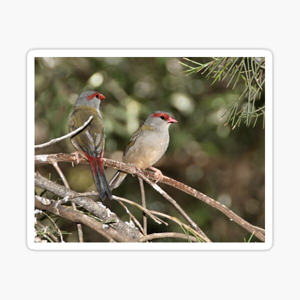 Red-browed Firetail Sticker