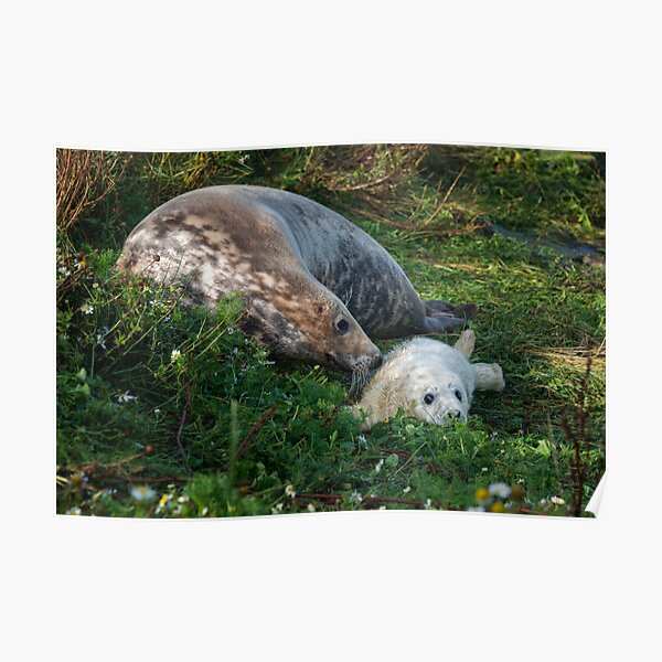Atlantic Grey Seal  and her pup Poster