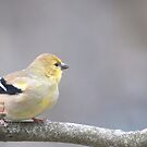 American goldfinch, late fall plumage by Penny Fawver