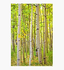 Aspen Tree Forest Autumn Time Portrait Photographic Print