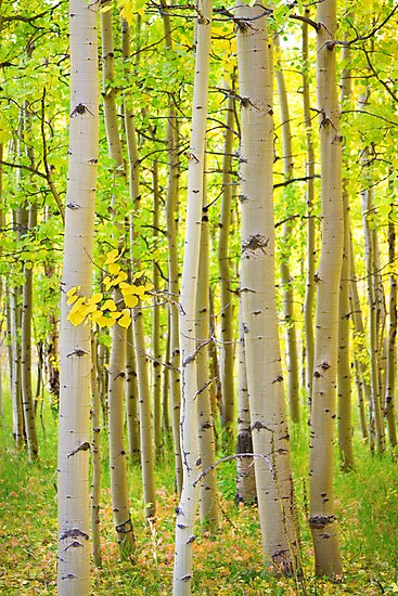 Aspen Tree Forest Autumn Time Portrait by Bo Insogna