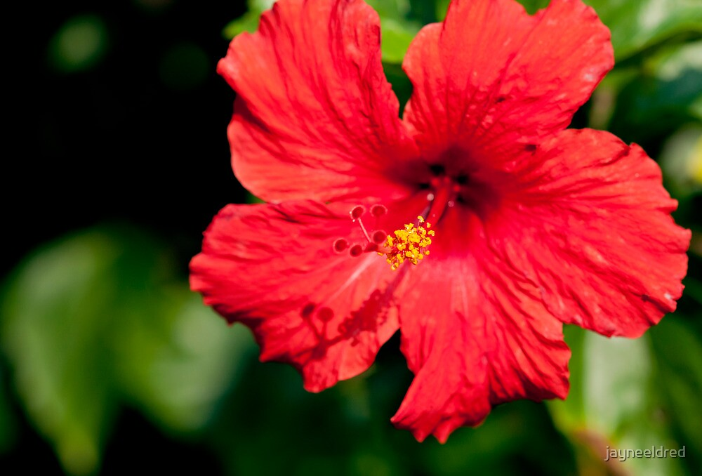 Stunning Bright Red Hibiscus by jayneeldred