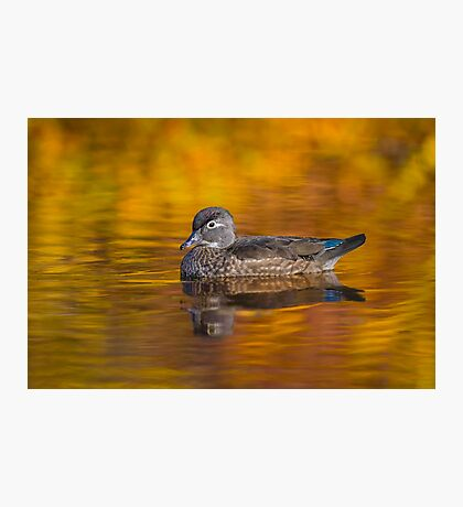 Fall Wood Duck Photographic Print