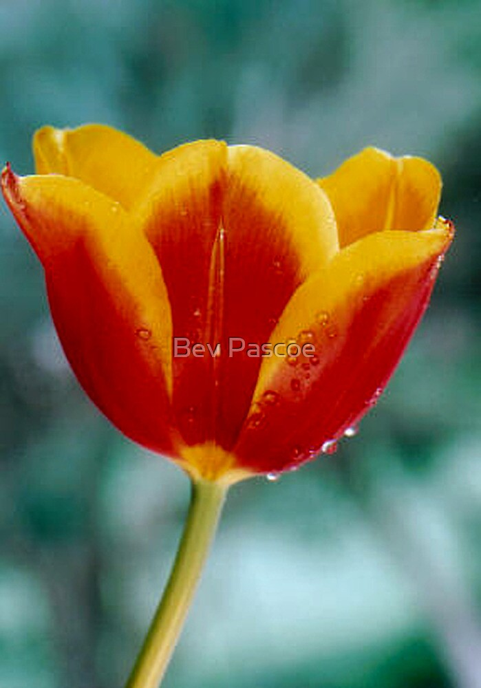 Tulip - Orange and Yellow by Bev Pascoe