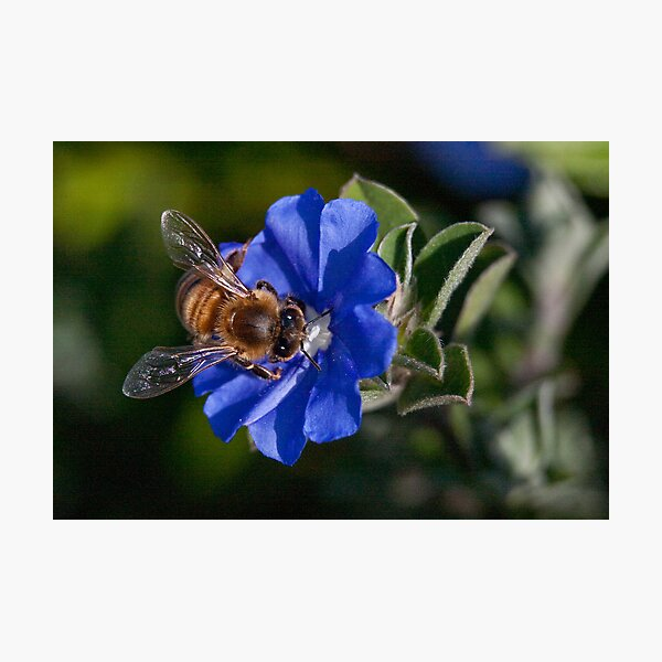 Bee-utiful Photographic Print