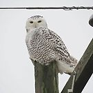 Snowy Owl by Jessica Sory by Deb  Badt-Covell