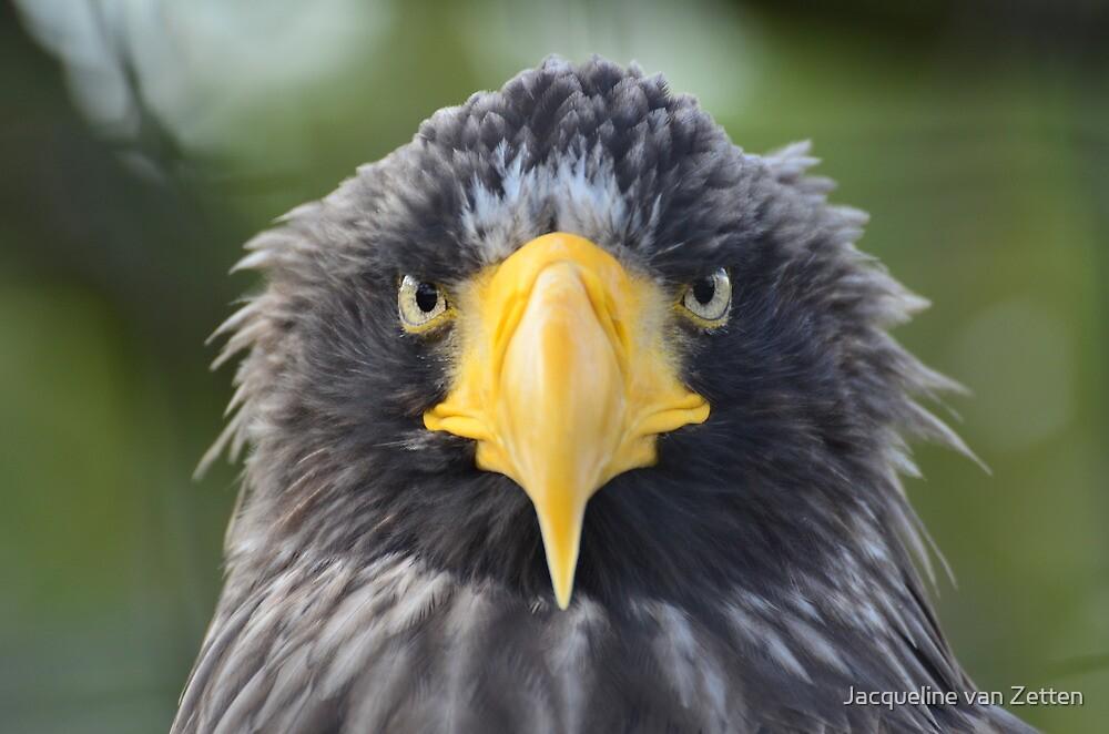 Stellers Zeearend / Steller's Sea Eagle II by Jacqueline van Zetten