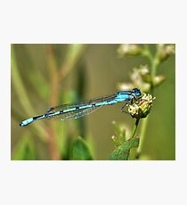 Azure Bluet Damselfly Photographic Print