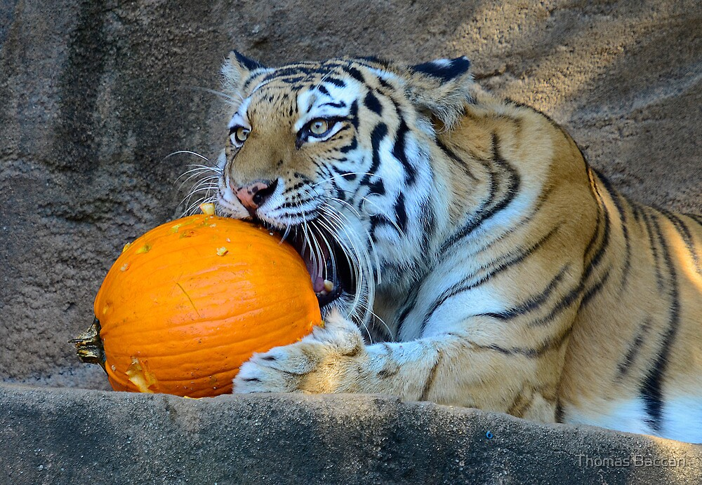 Yummy_Tiger with his Pumpkin by TJ Baccari Photography