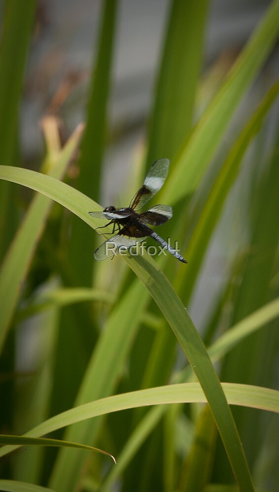 dragonfly in the cattails by Redfox4