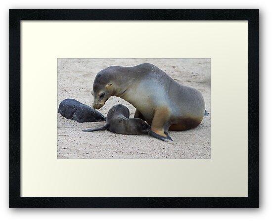 Galagapos Fur Seals by Sylwester Zacheja