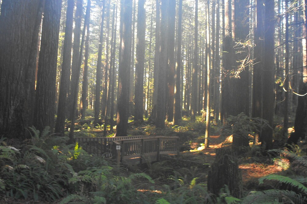 Fog and Sunshine in the redwoods by Carolynn Cumor