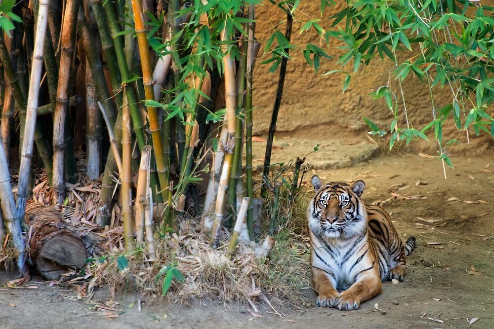 Tiger by Jeannette Katzir