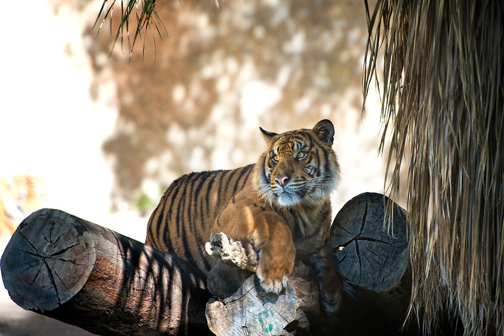 Tiger Atop Logs by Jeannette Katzir