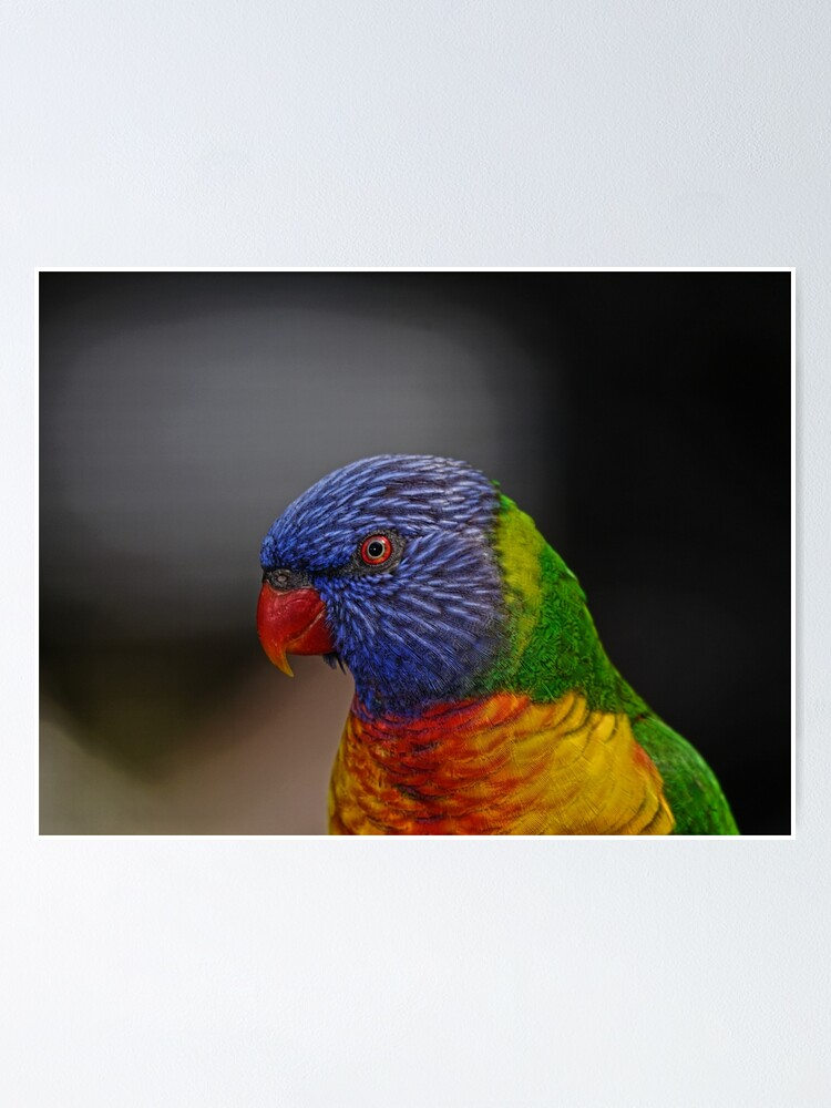Alternate view of Rainbow Lorikeet portrait Poster
