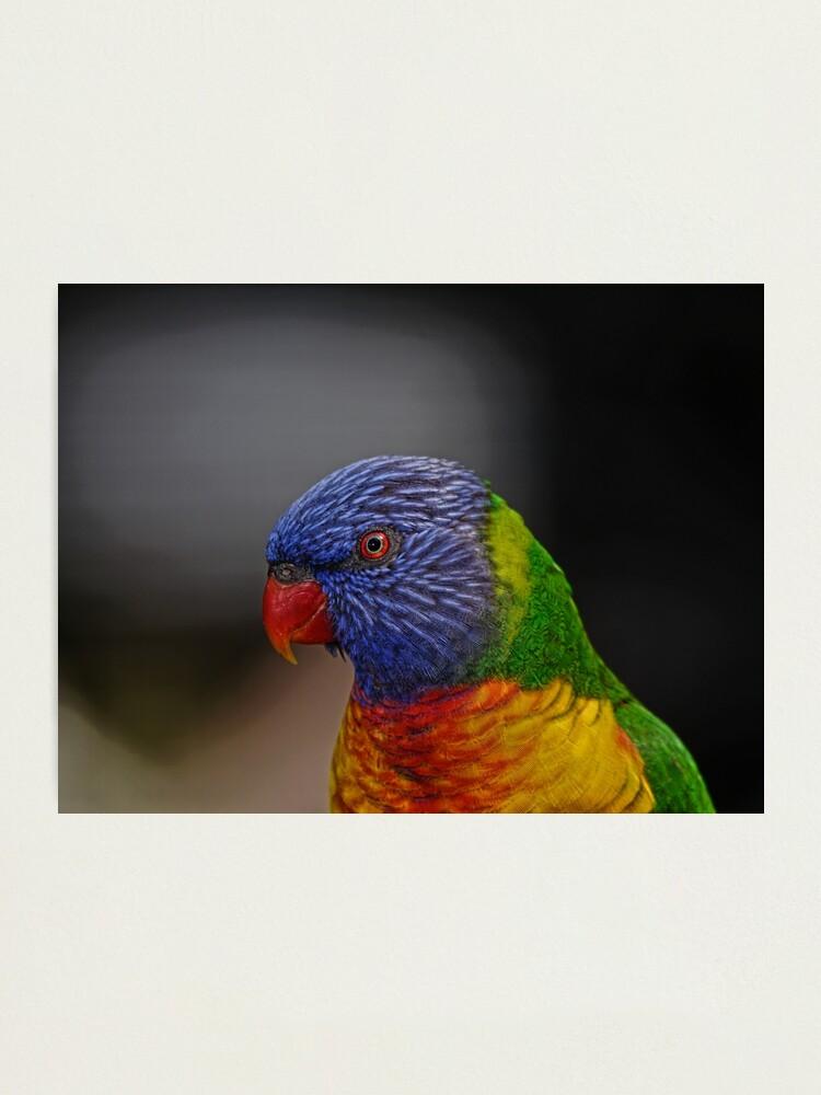 Alternate view of Rainbow Lorikeet portrait Photographic Print