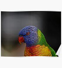 Rainbow Lorikeet portrait Poster