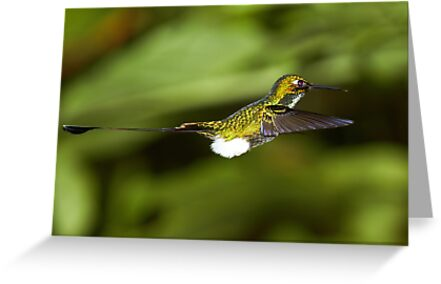 Hummingbird 7 by Sylwester Zacheja