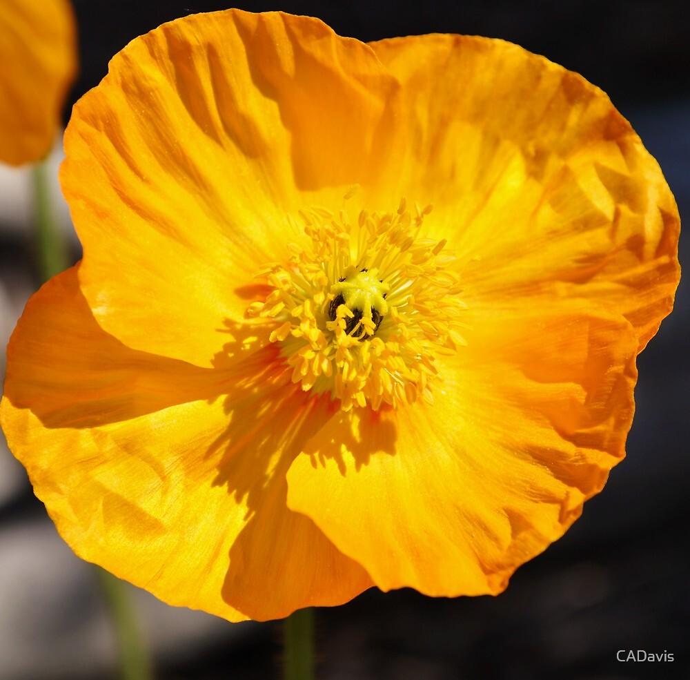 California Poppy by CADavis