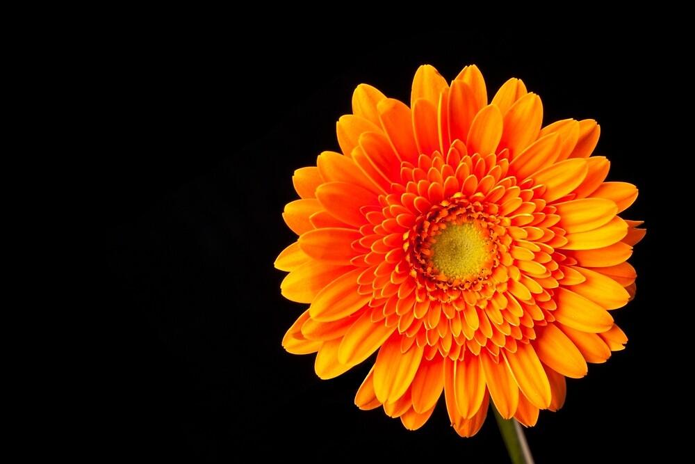 Orange Gerbera by Platslee
