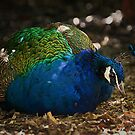 Sitting Peacock by zzsuzsa
