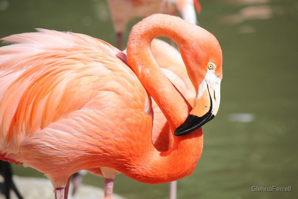 Flamingo at San Diego Zoo by GlennaFerrell