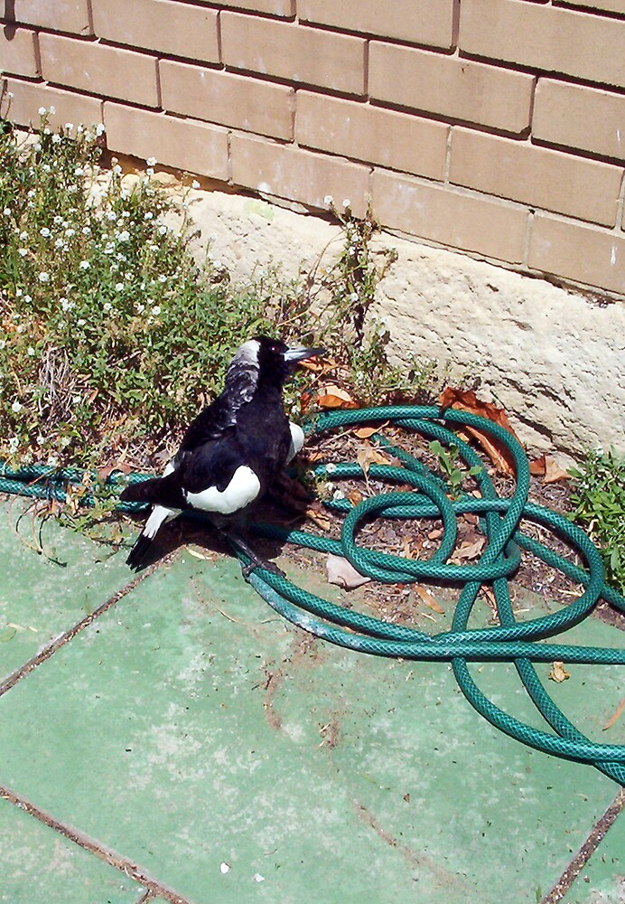Magpie Three - 07 11 12 by Robert Phillips