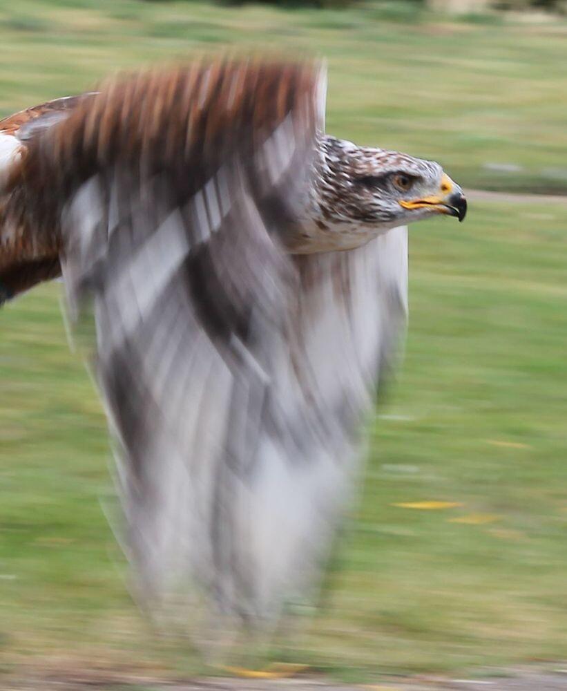 Golden Eagle by IngridSonja