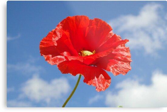 The Single Poppy by Barrie Woodward