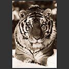 Tiger in Black & White by SOIL