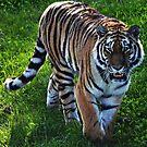 Tiger by bobbykim666
