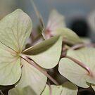 pale hydrangea by Somerset33