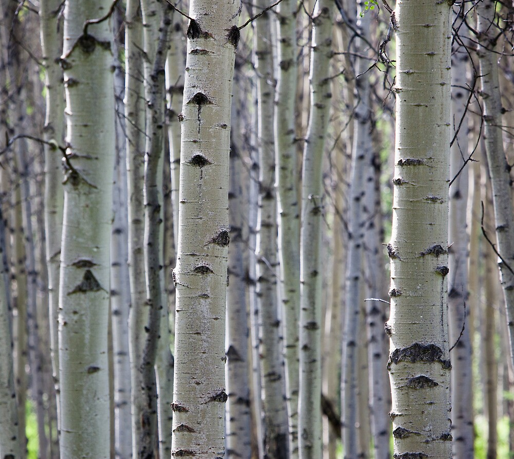 Silver Birch Forest, Jasper National Park, AB by Andy Townsend