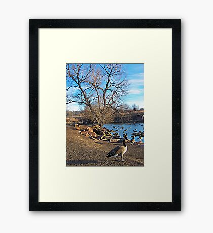 A Gaggle of Geese Framed Print