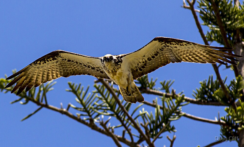 Osprey at Port Macquarie NSW by Doug Cliff