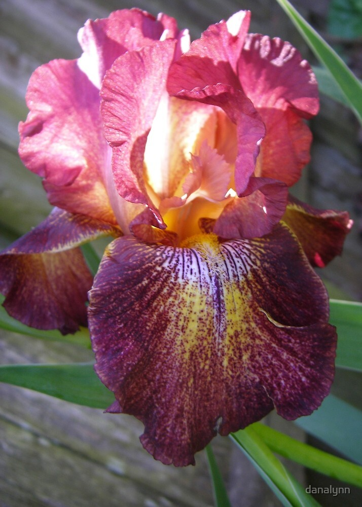Iris Aglow by danalynn