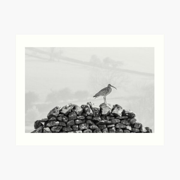 Curlew on dry stone wall Art Print