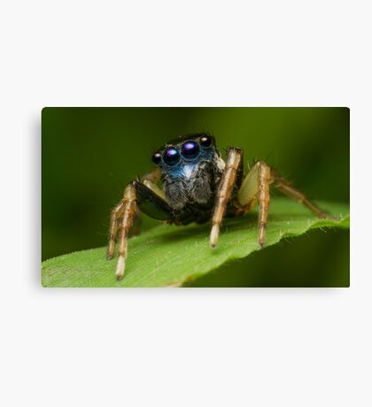 (Menemerus bivittatus) Jumping spider Canvas Print