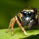 (Menemerus bivittatus) Jumping spider #2 by Kerrod Sulter
