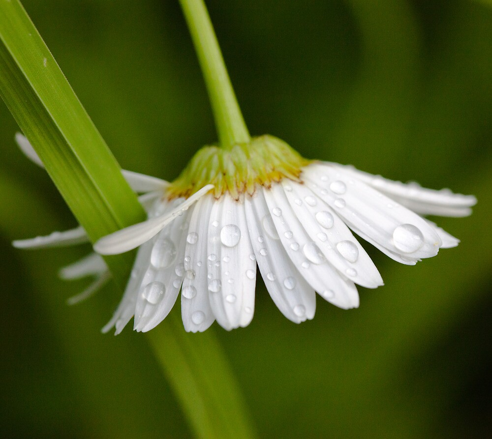 Daisy Droplets, BC by Andy Townsend