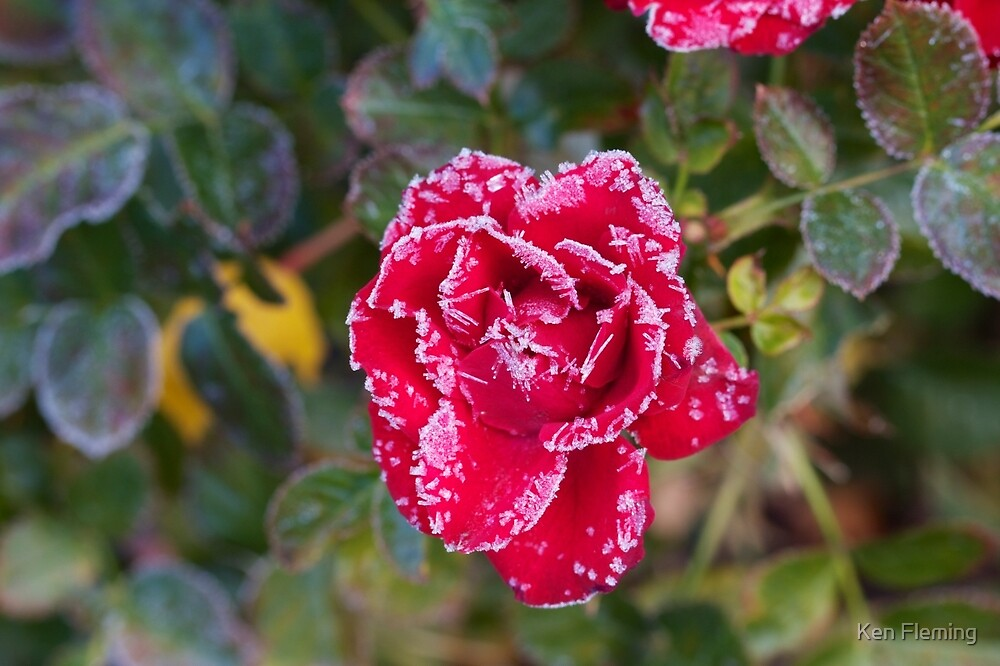 Frost Kissed Rose by Ken Fleming