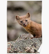 Funny Weasel Poster