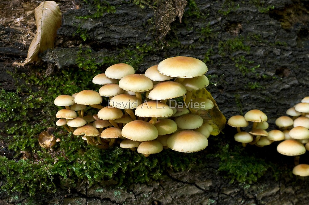 Sulphur Tuft (Hypholoma Fasciculare), also known as Clustered woodlover, a poisonous mushroom. by David A. L. Davies